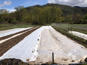 We cover newly seeded or transplanted crops with this white fabric called Agro Bond. This is really beneficial to the plants because it still lets sunshine in, prevents insects from eating the leaves, traps moisture, and adds extra heat.