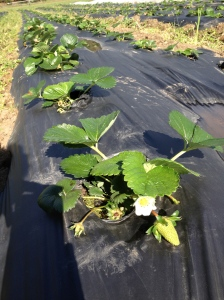 More and more of these strawberries are forming....now they just have to turn red