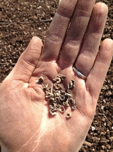 Anna seeded the first succession of flowers: over 25 varieties! These are Calendula seeds