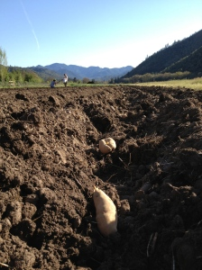 Here are the fingerling potatoes resting in their furrow, ready to be mounded.