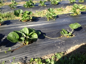 Strawberries send out runners in the spring time