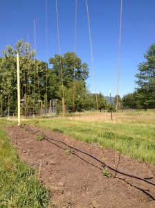 The little hops are planted and so ready to climb up that trellis