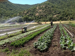 We are in full swing of market harvest. Here, Anna is harvesting the lettuce mix while Jeff works on the