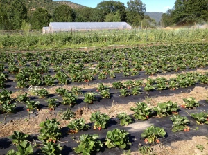 The strawberries are booming!