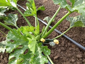We are already seeing zucchini growing in the hoop house!