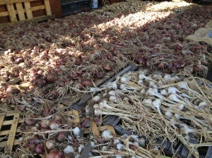 All of our onions and garlics are done curing