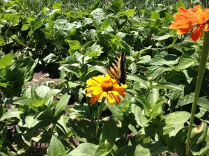 The monarch butterflies are loving the zinnia flowers!
