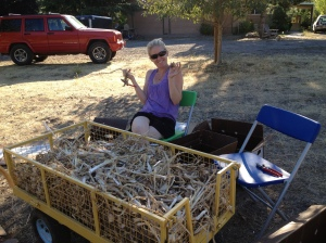 So now it's time to clean them all up. Here, my sister Julie is helping cut the dried stems and roots off of the garlic