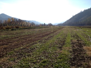 Most all of our fields have been mowed down, disced, and seeded with cover crop for the winter