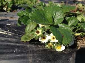 The weather has been so nice. We finally got rain a couple of week ago that turned everything green. And it has been sunny and warm ever since. All the plants are loving it! The strawberries have started flowering