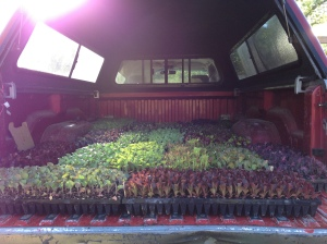 One of our late Spring plant outs. 24 trays, 4,600 plants