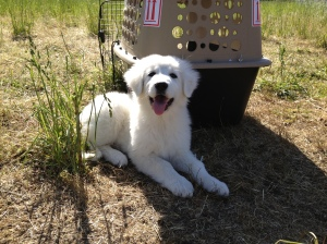 One week later, our Maremma sheep dog arrived. Here is she only 8 weeks old