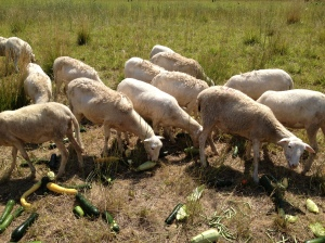 Our sheep got spoiled with lots of extra produce that didn't sell at market