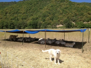 Luna's growing fast! Here she is protecting the sheep